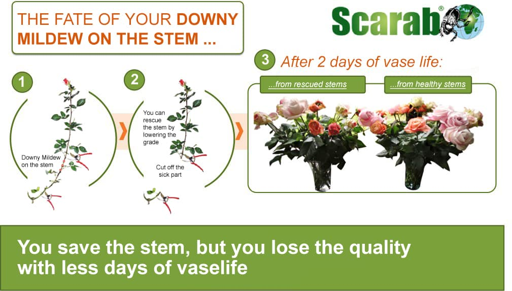How to keep control of your greenhouse to combat Downy Mildew on rose stems