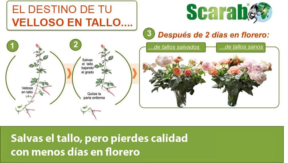 Cómo mantener el control de su invernadero para combatir el mildiú velloso en los tallos de las rosas
